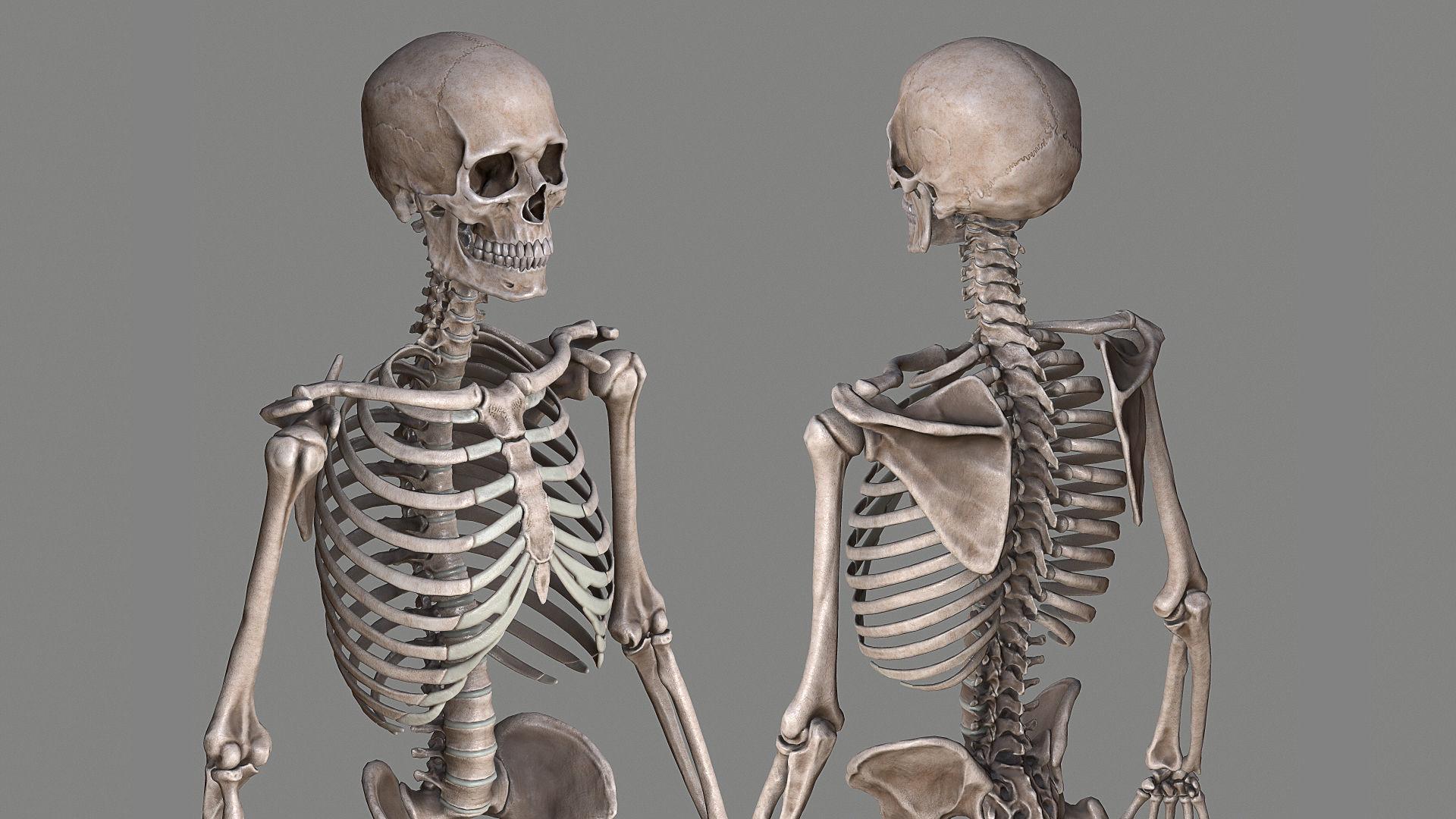 Human Skeleton Caucasian Male