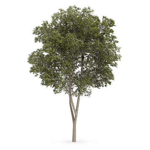 austrian oak quercus cerris 3d model max obj mtl fbx c4d mat 1