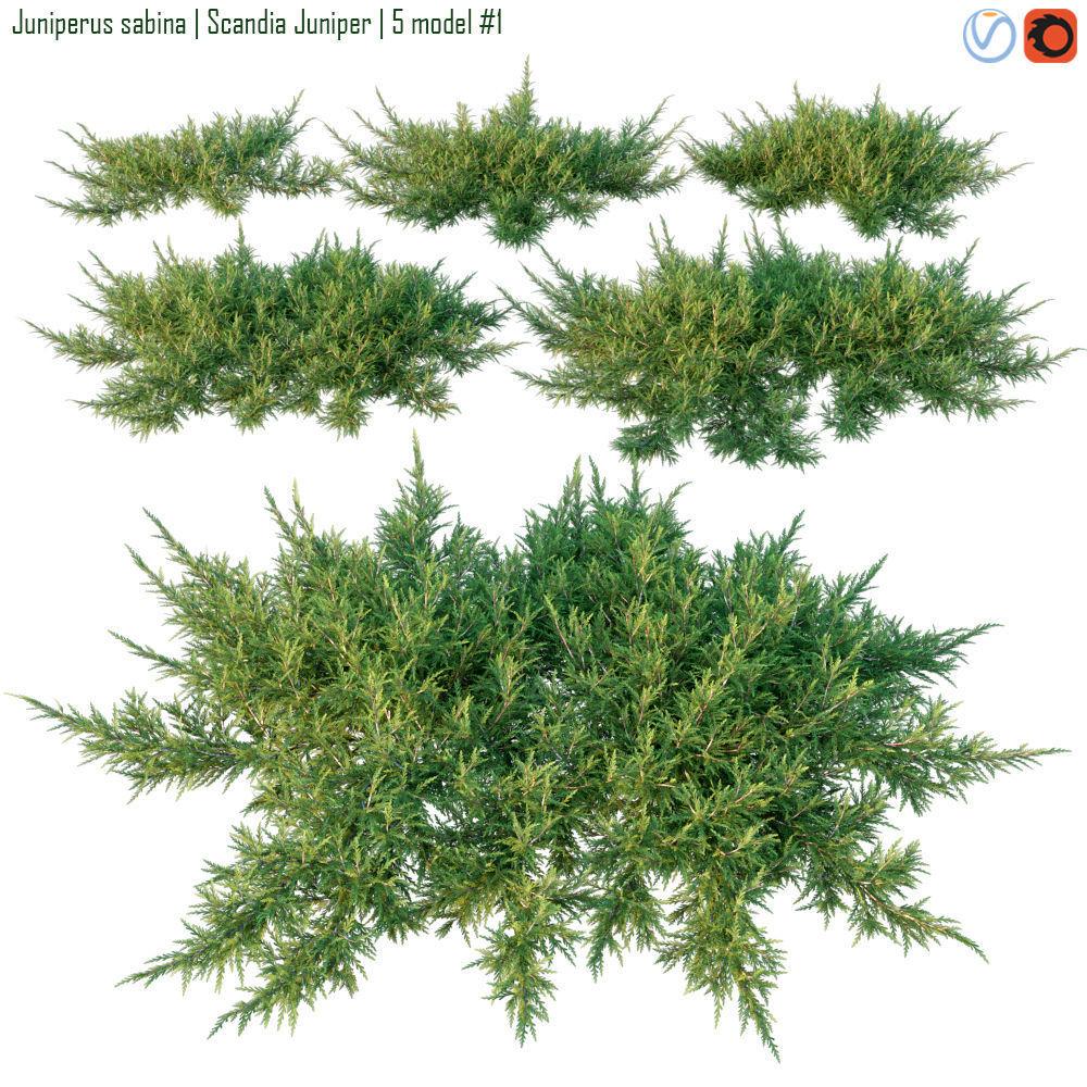 Juniperus sabina  Scandia juniper