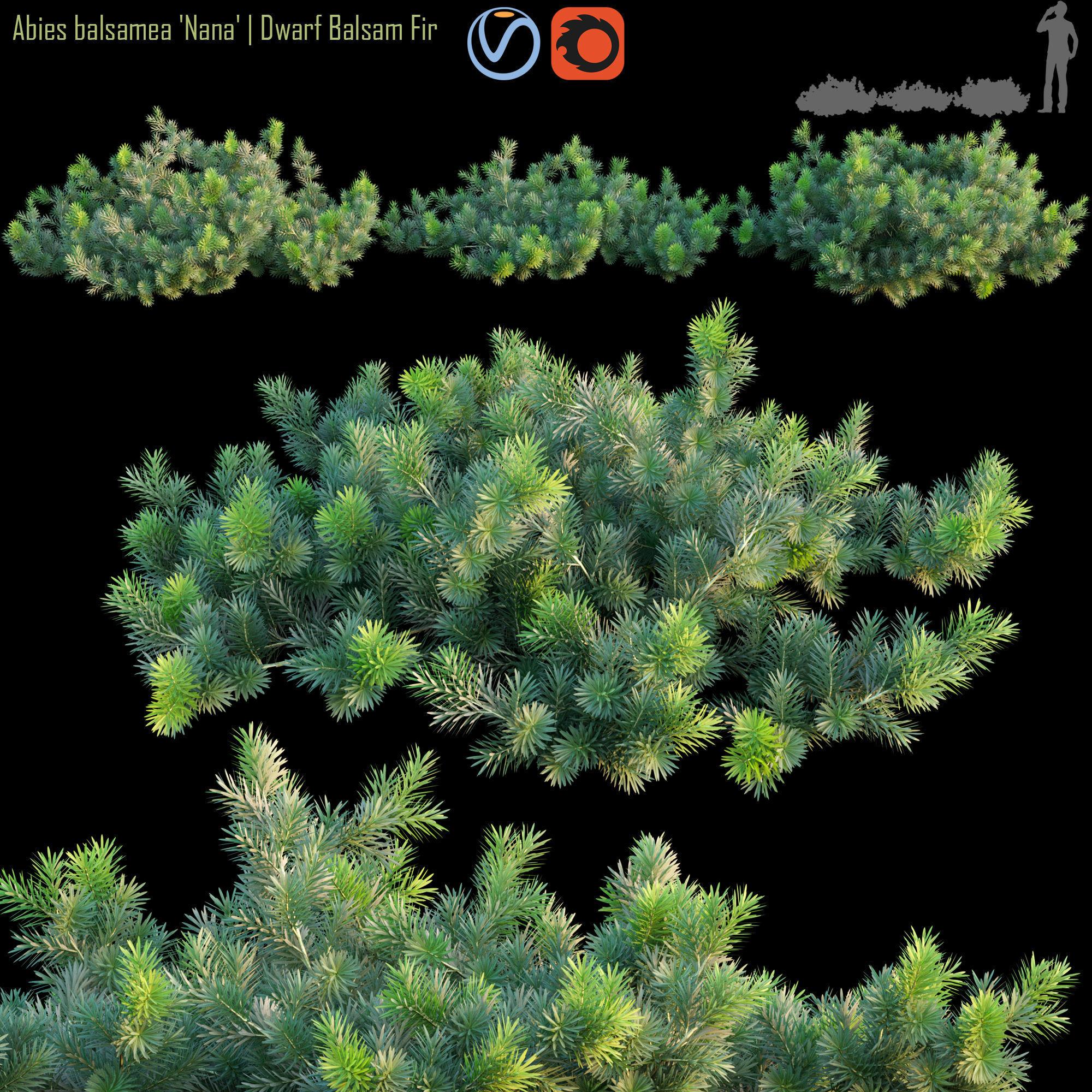 Abies balsamea  Dwarf balsam fir