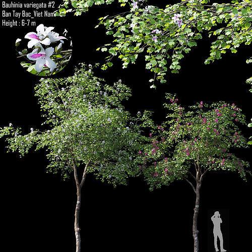 Bauhinia variegata 02