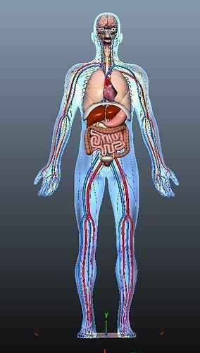 Human Anatomy 3D asset animated | CGTrader