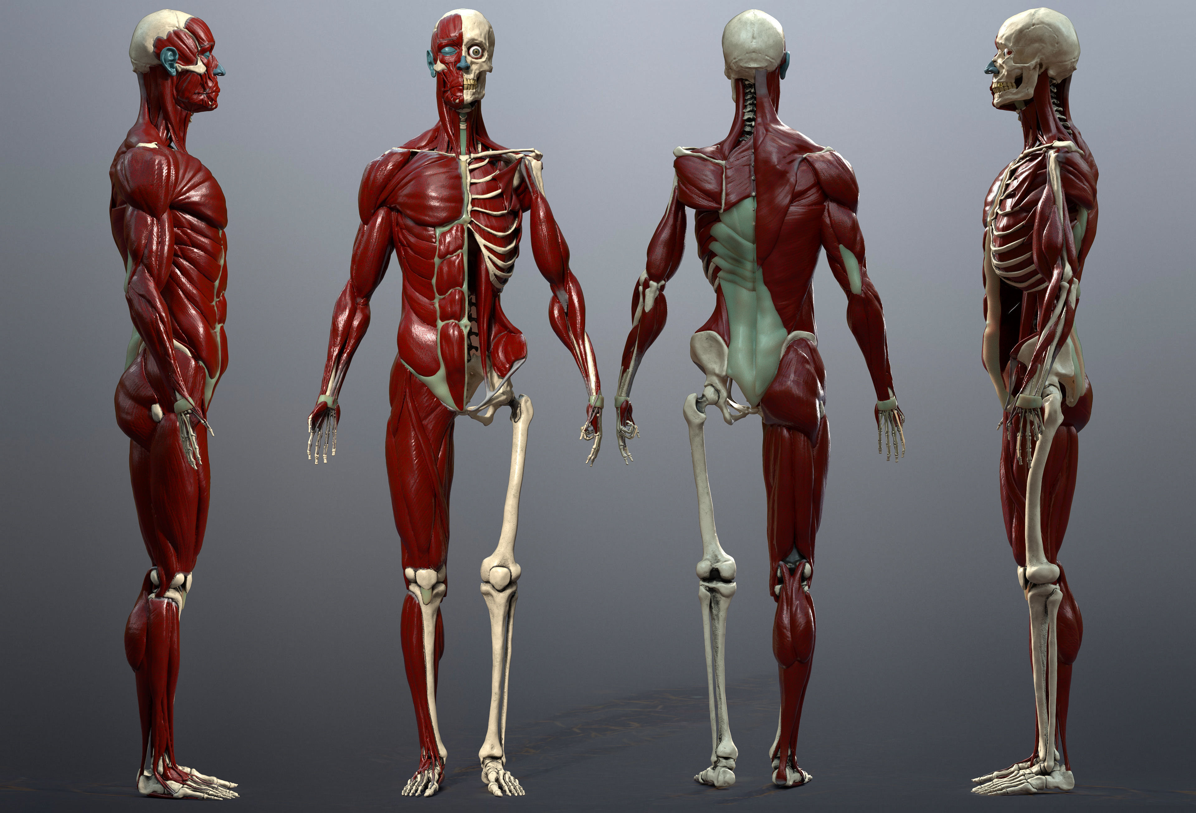 Skeleton and Muscles Study