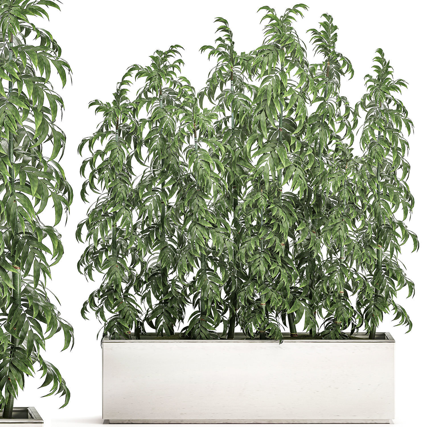 Bamboo Tree In White Flowerpots For Parks And 3d Model 1