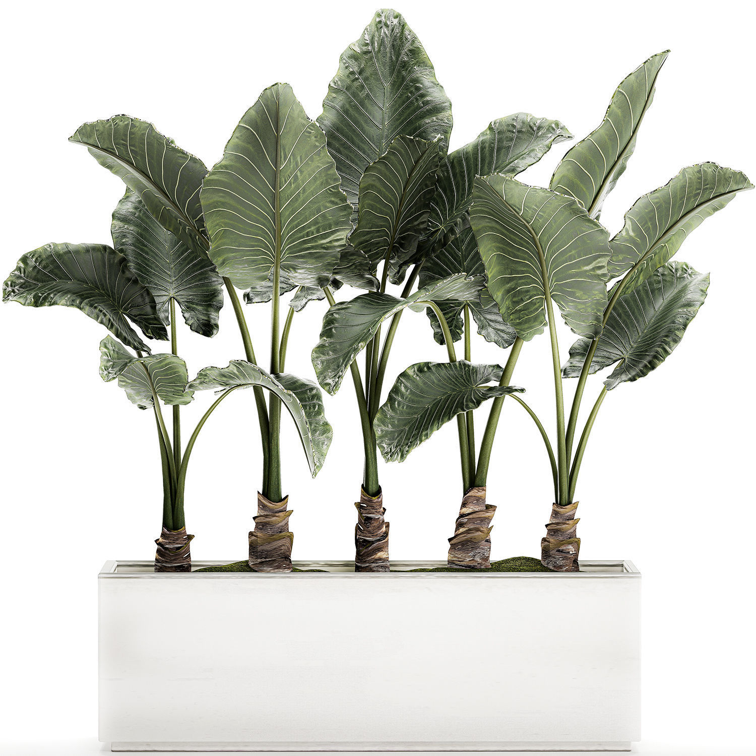 Alocasia in a white flowerpot for decor and interior design 511