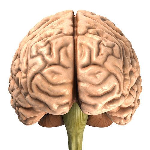 accurate human brain 3d model obj blend mtl, Human Body