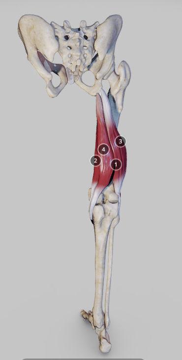 Knee Flexors