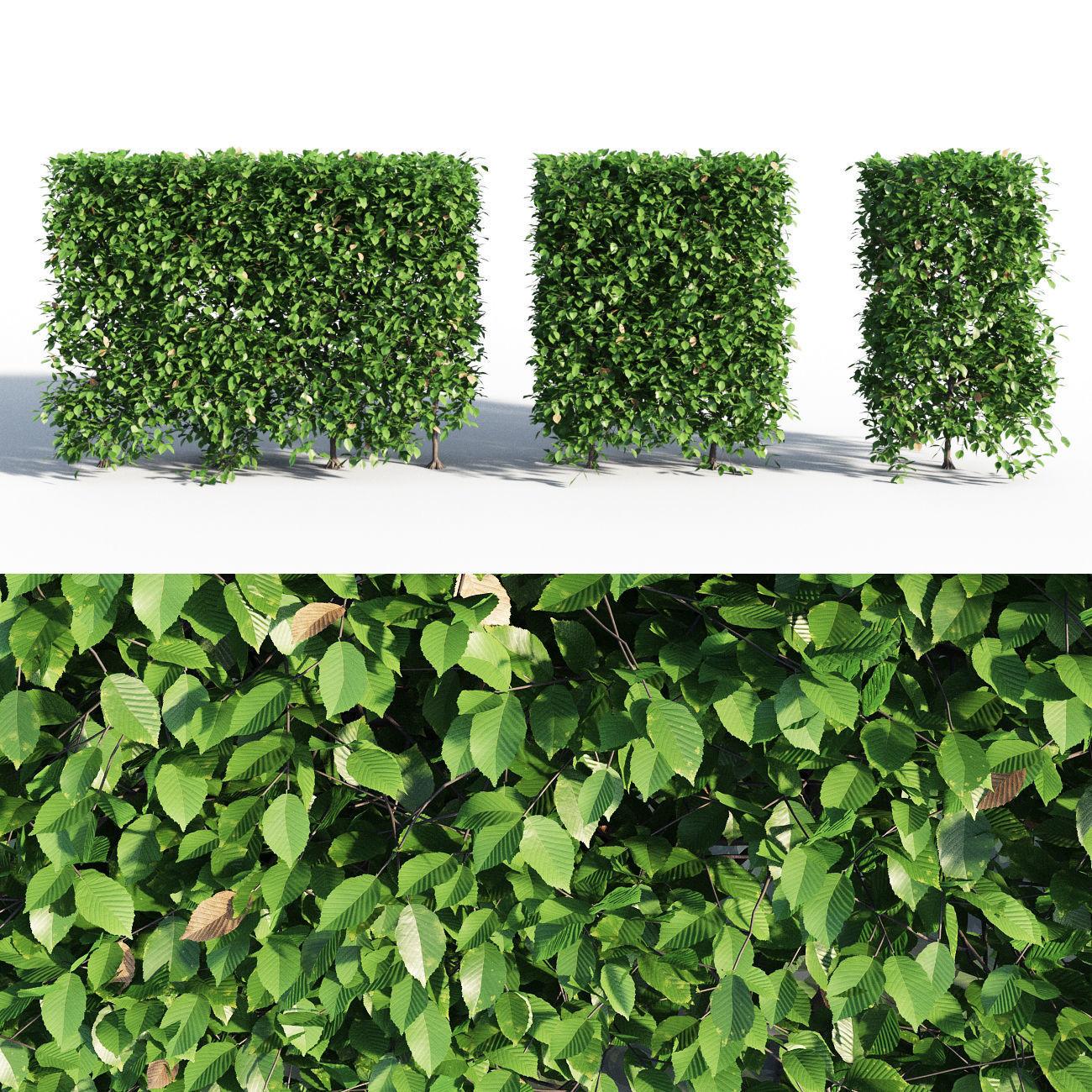 HORNBEAM hedge