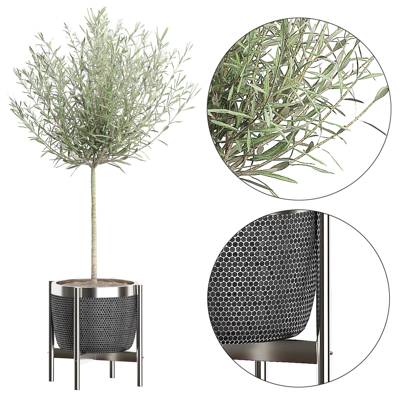 Olive tree in pot 67