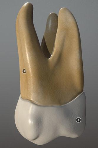 Maxillary First Molar