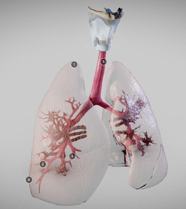 Pulmonary System Whole