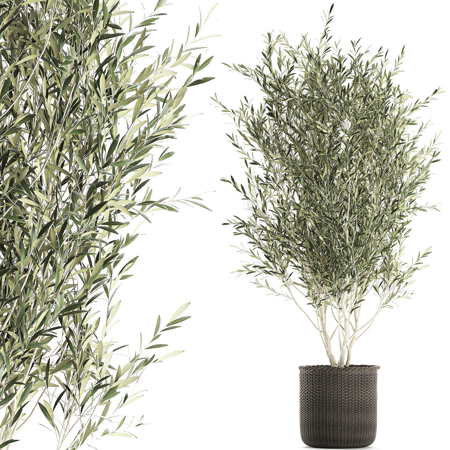 Olive tree for the interior in basket 652