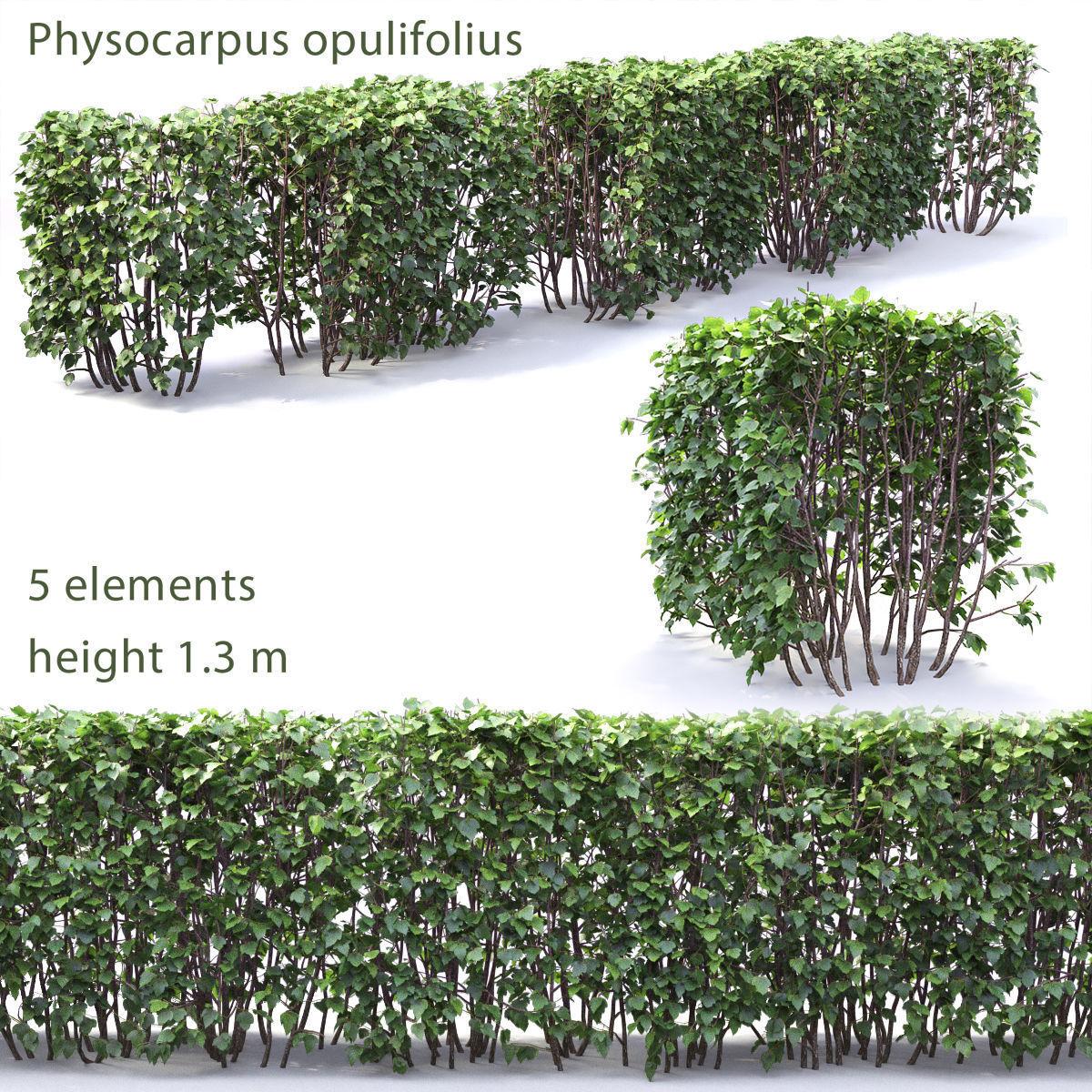 Physocarpus opulifolius hedge 01