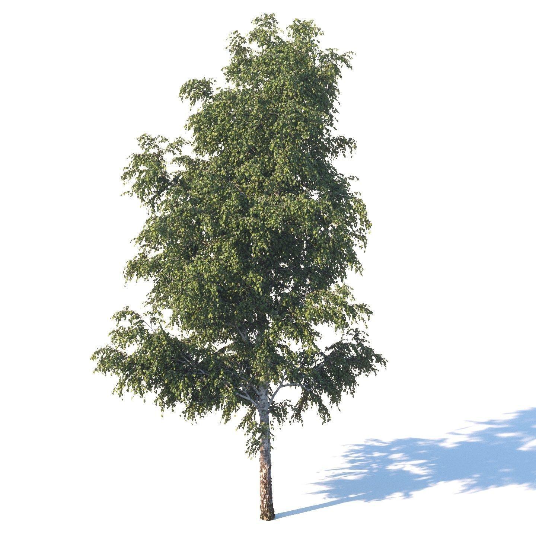 Summer white birch 18 meters