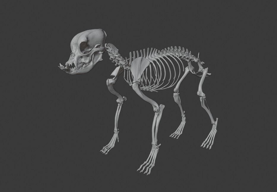 English Bulldog skeleton
