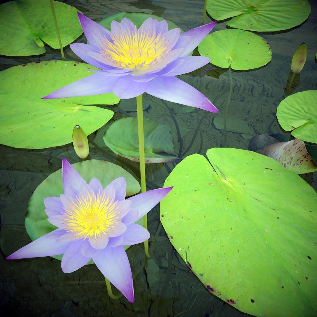 3d model nymphaea caerulea nile water lily cgtrader nymphaea caerulea nile water lily 3d model max obj mtl c4d 2 izmirmasajfo