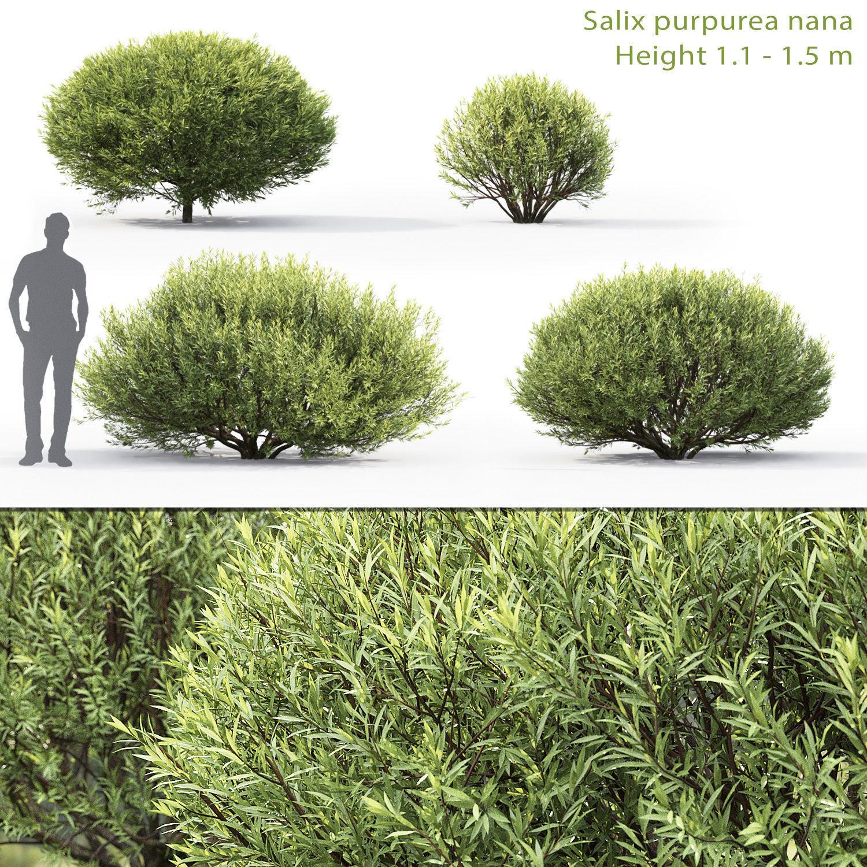Salix purpurea nana 01