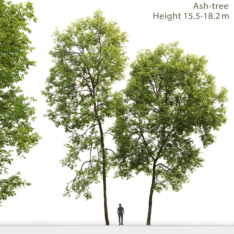 Ash-tree 02 H15 18m