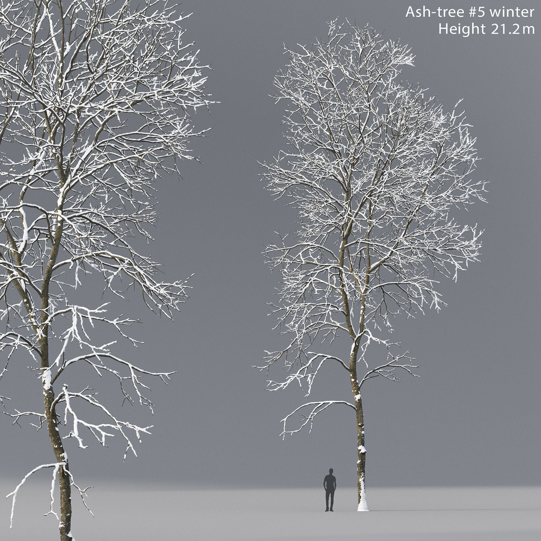 Ash-tree 05 winter H21m
