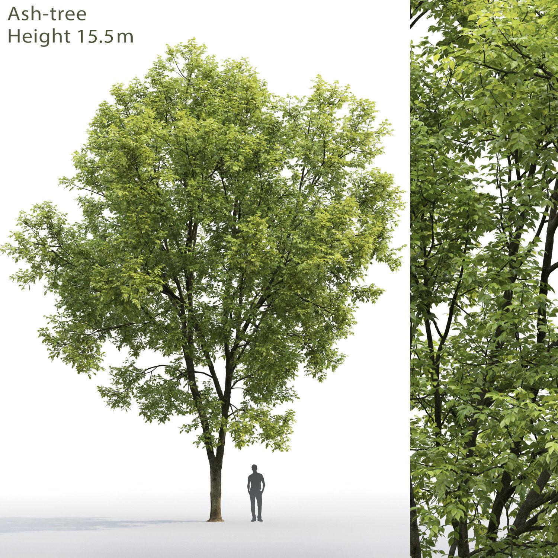 Ash-tree 07 H15m