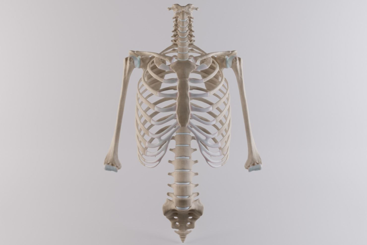 Thoracic cage with all vertebrae and shoulder joint with humerii