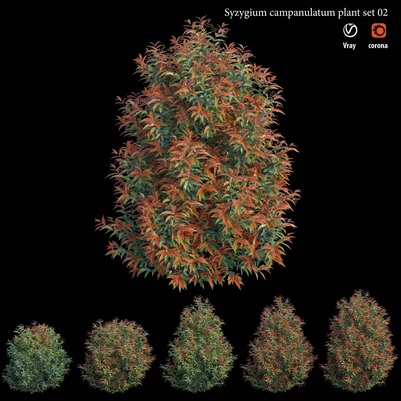 Syzygium campanulatum plant set 02
