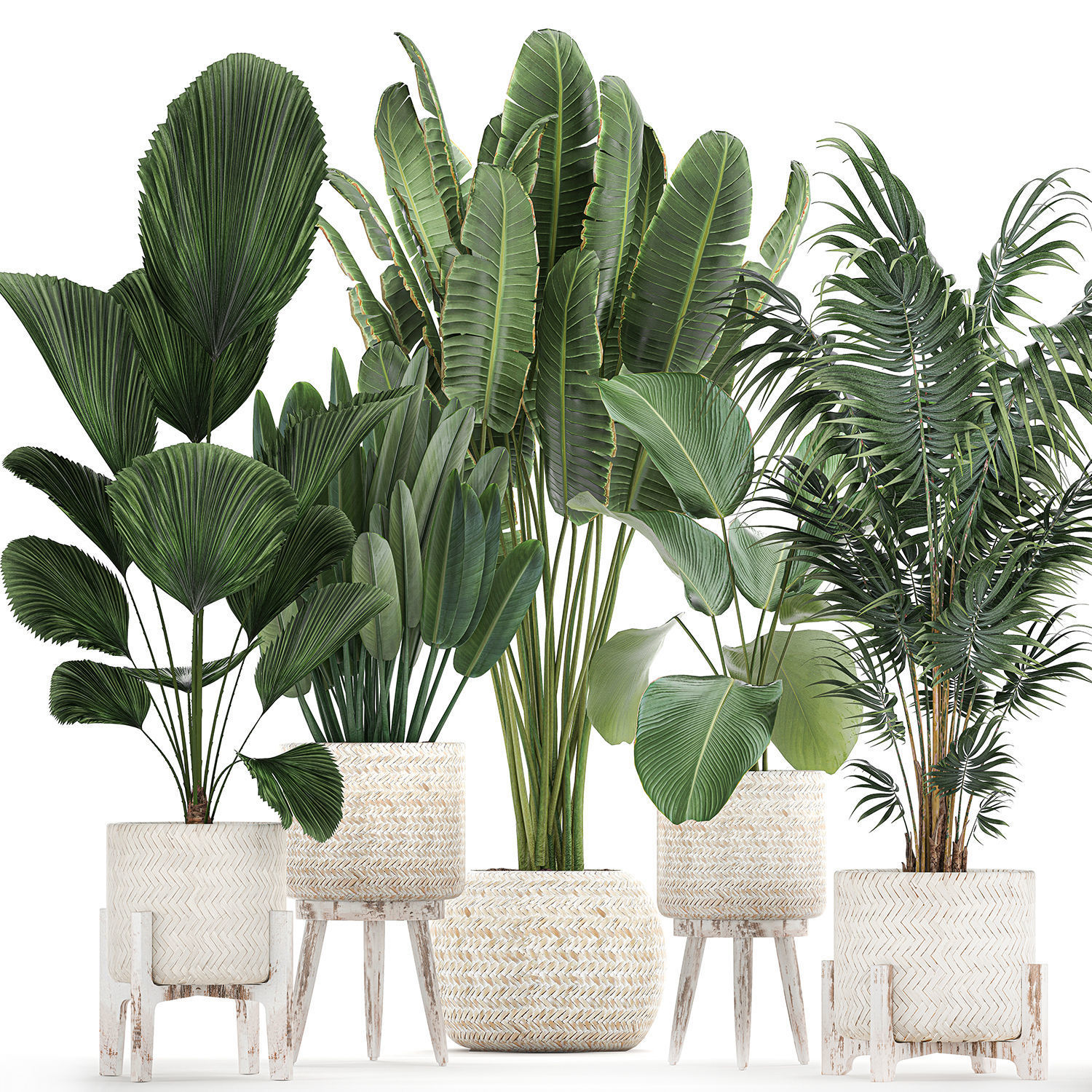 Houseplants in a white basket rattan for the interior 713