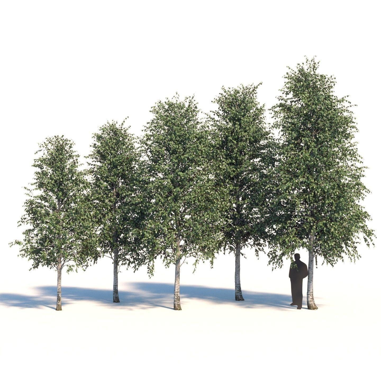 Five white birches 6-8 meters