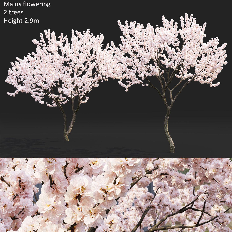 Malus flowering 04