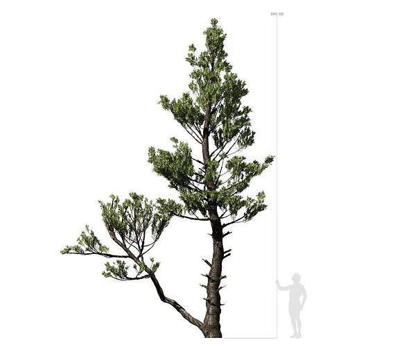 Conifer Tree 002