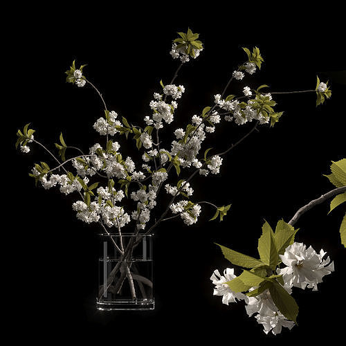 Japanese cherry branches white
