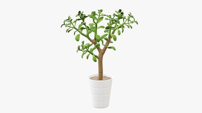 Crassula plant in flower pot