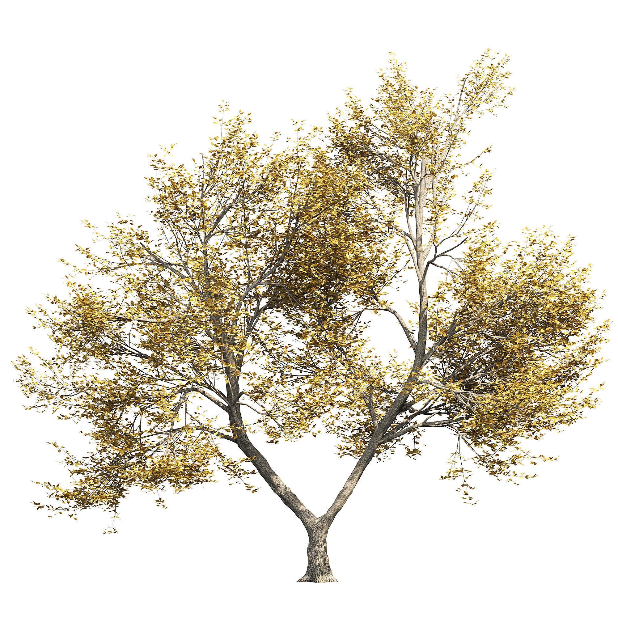 Ash-tree 4