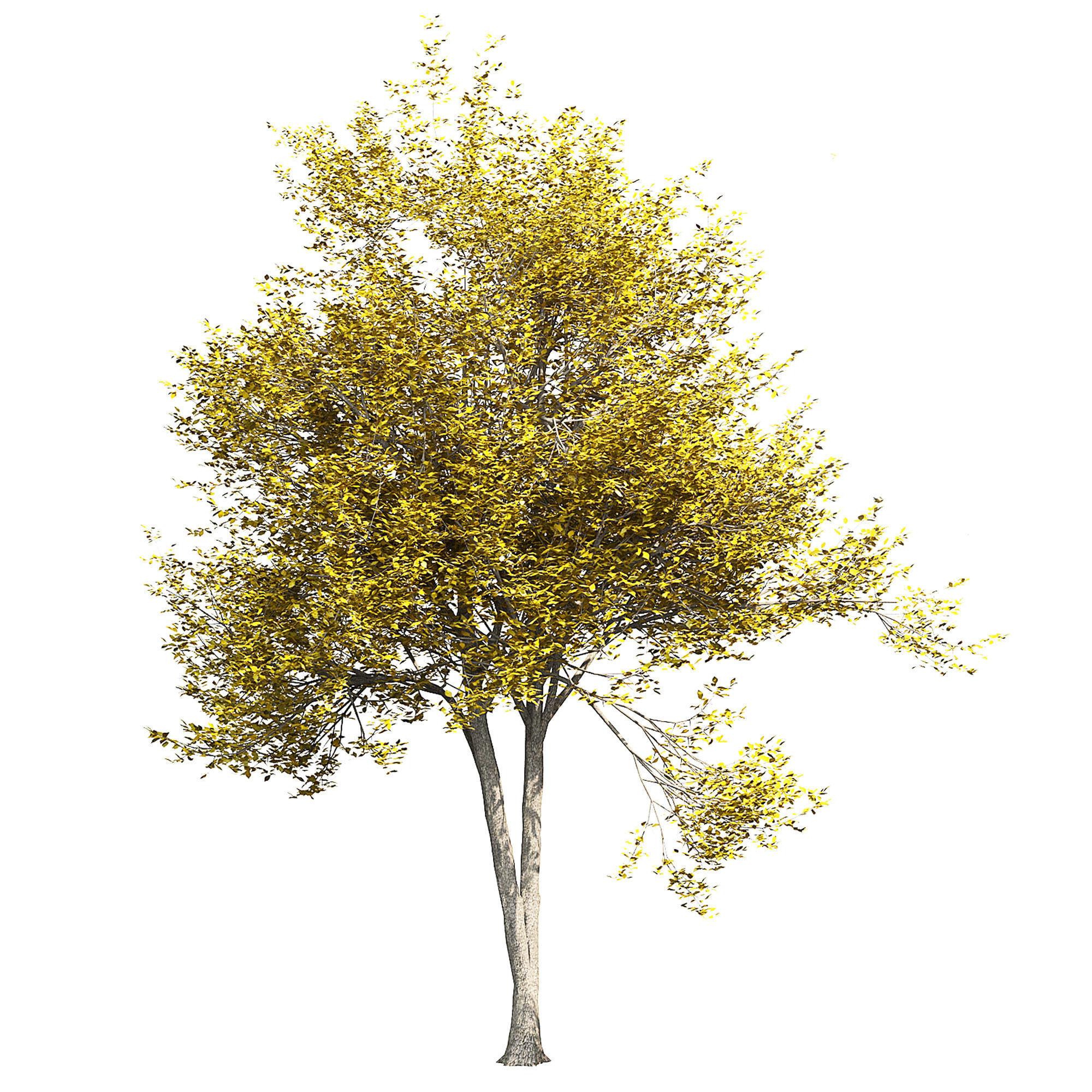 Ash-tree 2