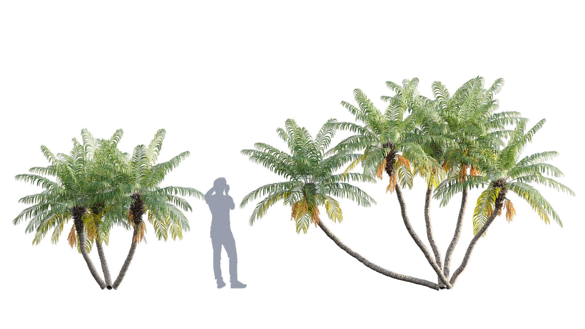 Phoenix roebelenii - Pygmy Date Palm - 02
