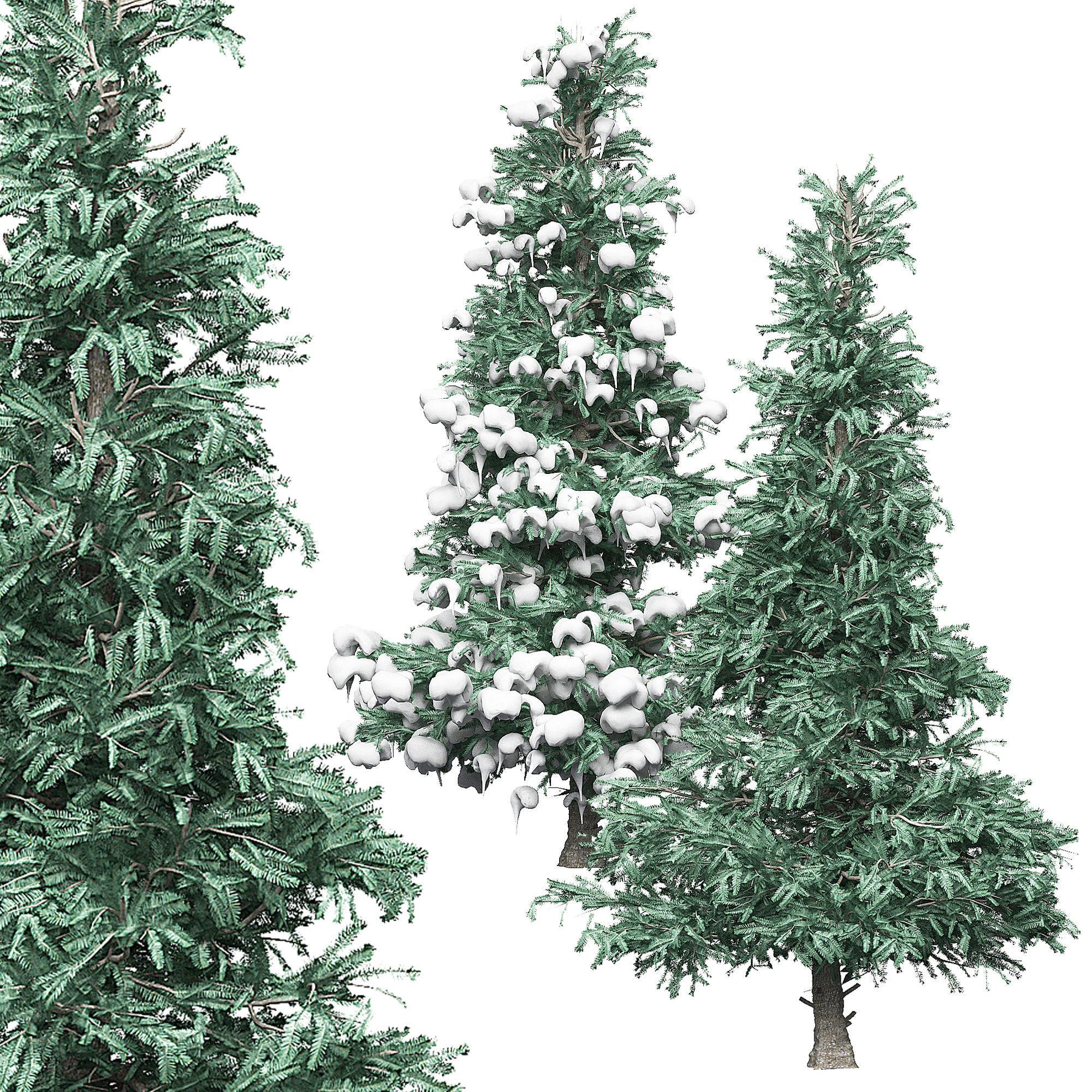 Spruce 3