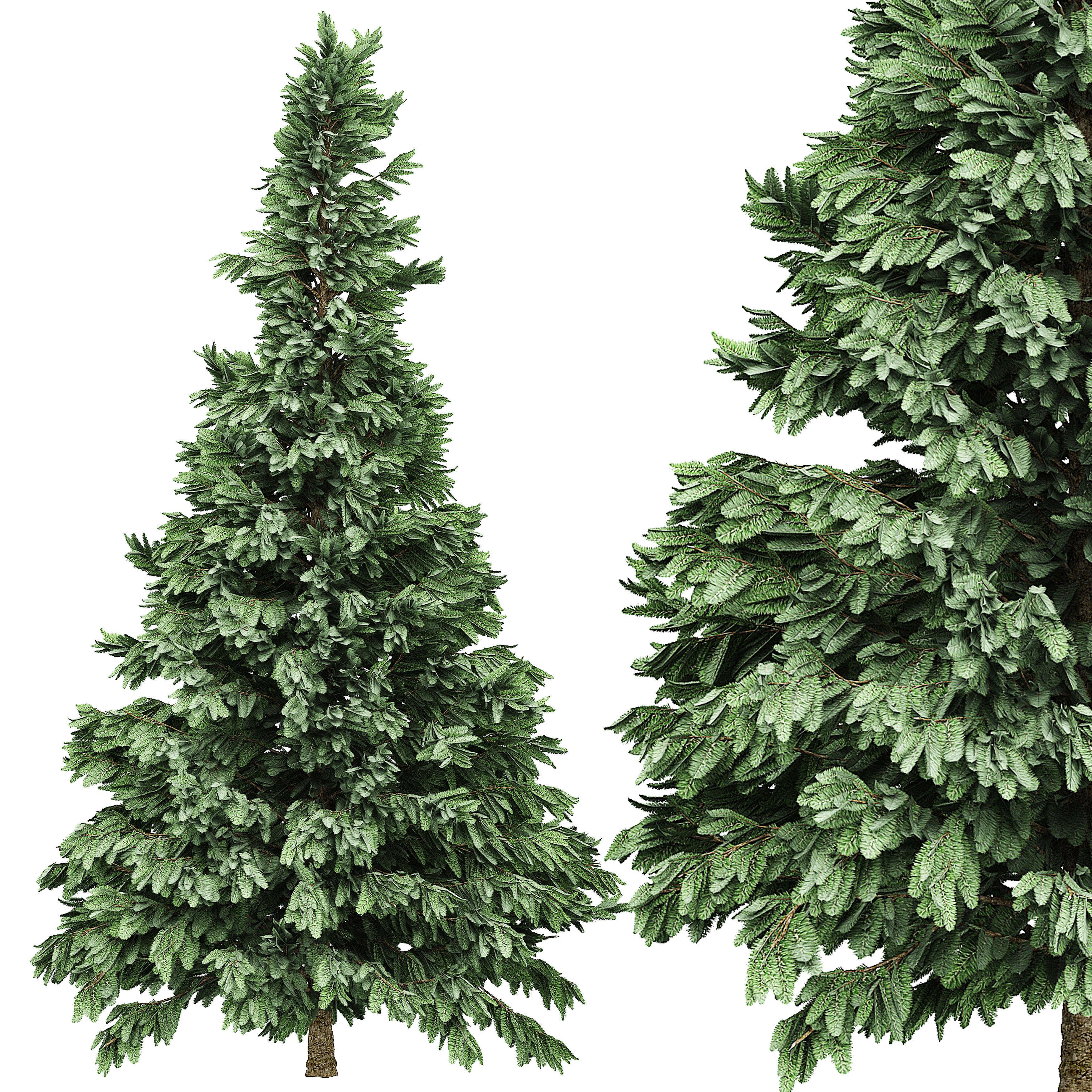Spruce 6