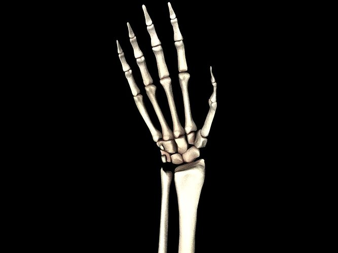 Bones Of The Hand Medically Accurate 3d Model 3d Model Animated Obj