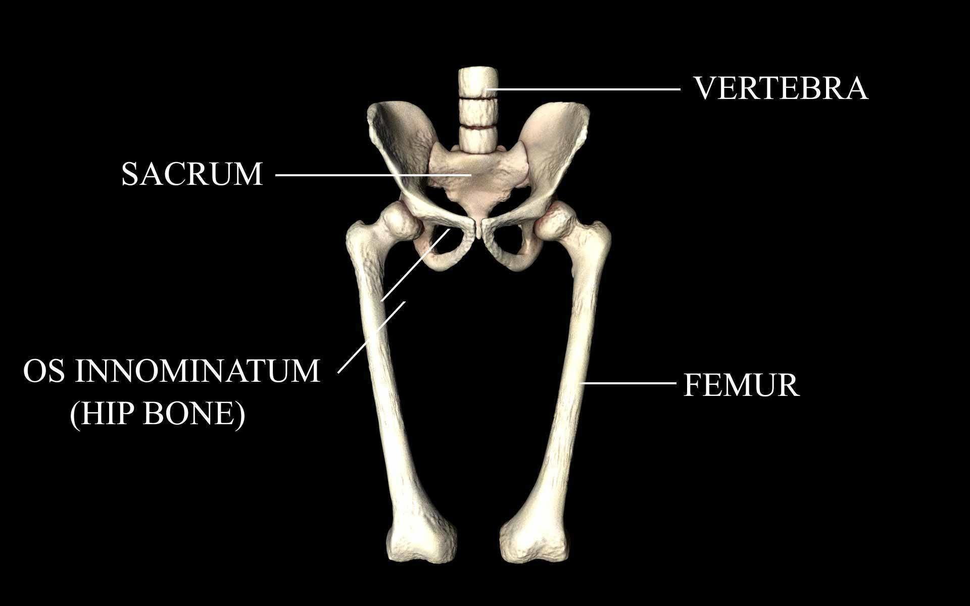 Hip Joint - Hip bone Sacrum Femur - Only bones Medically Accu...