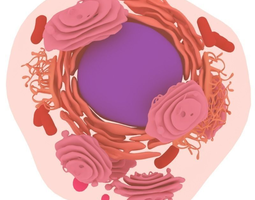reticulum 3D Animal cell