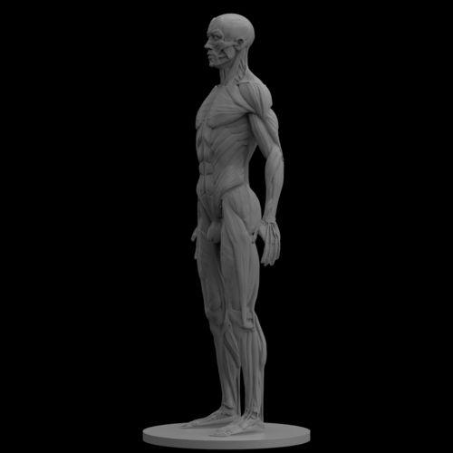 3d human anatomy model