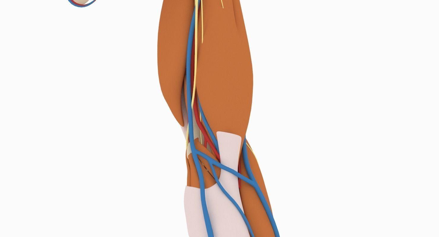 Fantastic Elbow Anatomy Pictures - Anatomy Ideas - yunoki.info