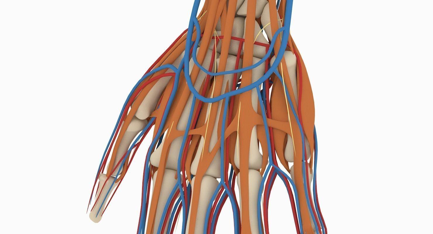 3D Hand Anatomy | CGTrader