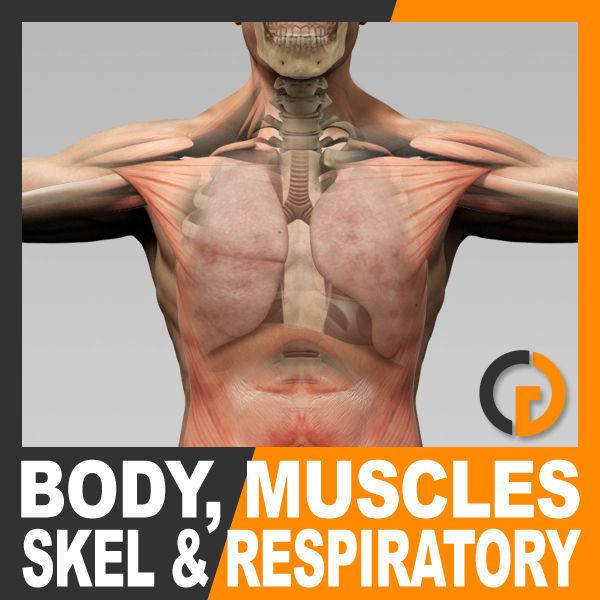Human Male Body Muscular Respiratory System Skeleton - Anatomy