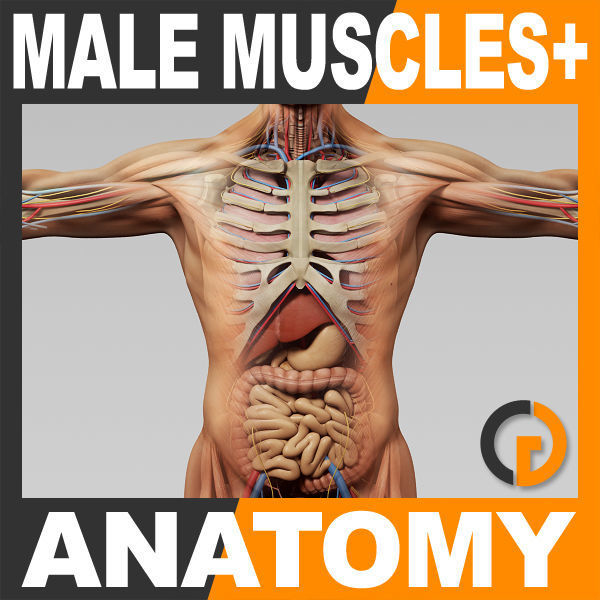 Human Male Anatomy - Body Muscles Skeleton and Internal Organs