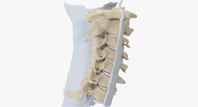 cervical spine 3d model max obj mtl 3ds fbx ma mb 3dm 1