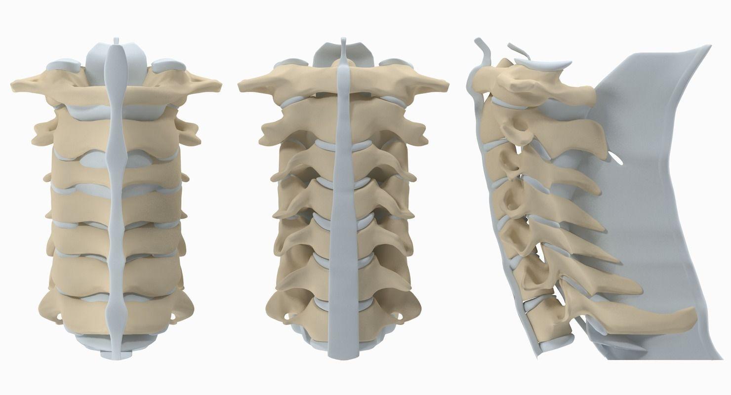 Cervical Spine 3D   CGTrader