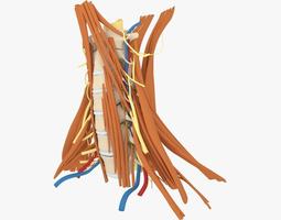 3D model Human Neck