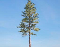 Tall Conifer Tree 3D