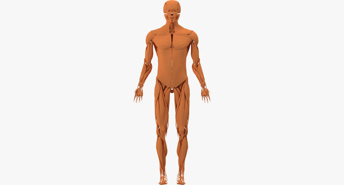 muscular system 3d model max obj 3ds mtl | cgtrader, Muscles